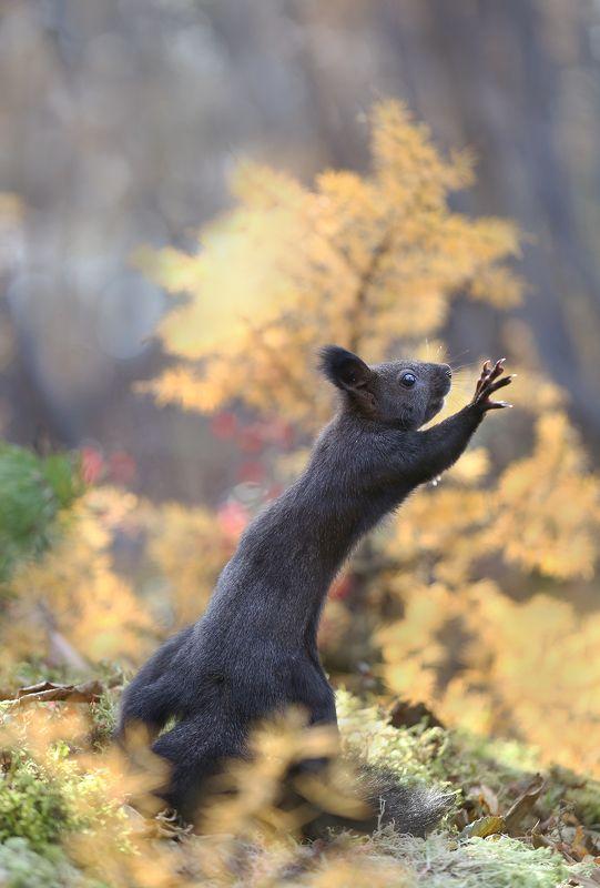 нерюнгри, белка, якутия, дикие_животные Осень....не уходи!photo preview