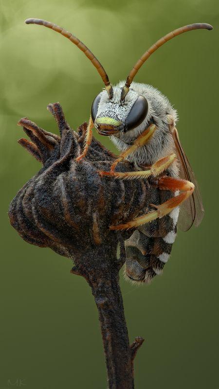 Длиноусая  пчелкаphoto preview
