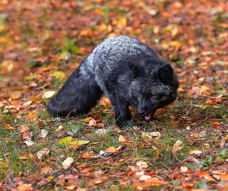 лиса,чернобурая,красотка, охота, осень,красота,природа, fox, black, hunting,beautiful, autumn, nature Лиса охотитсяphoto preview