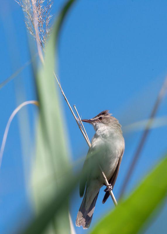 камышовка-, птичка, певчая Камышовка дроздовиднаяphoto preview