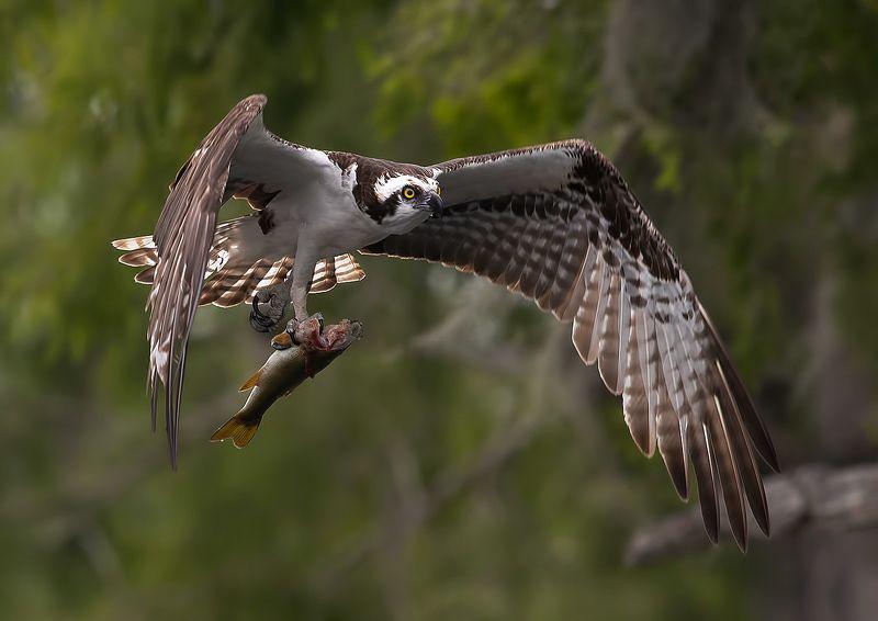 cкопа, osprey, florida, хищные птицы Osprey with Prey -Скопа с добычейphoto preview