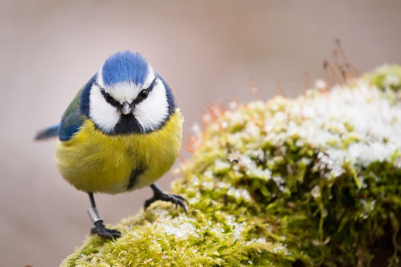 Titmouse in winterphoto preview