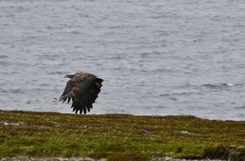 Animals, eagle, birds, nature, Norway, Barents sea, coast,  Морской орёлphoto preview