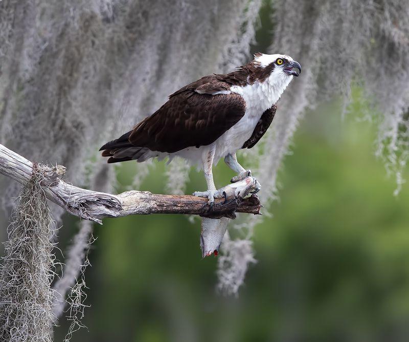 cкопа, osprey, florida, хищные птицы, wildlife Osprey with Prey -Скопа с добычейphoto preview