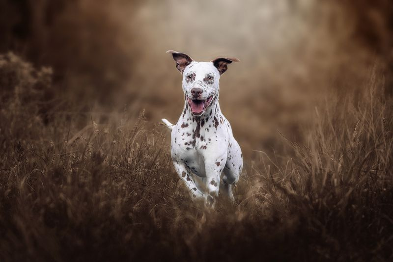 собака, животное, dog, далматин Осенней драйвphoto preview