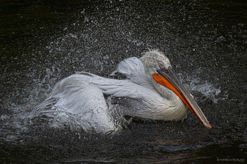 пеликан, кудрявый пеликан, птица, птицы, животные, брызги, купание Bathing Funphoto preview