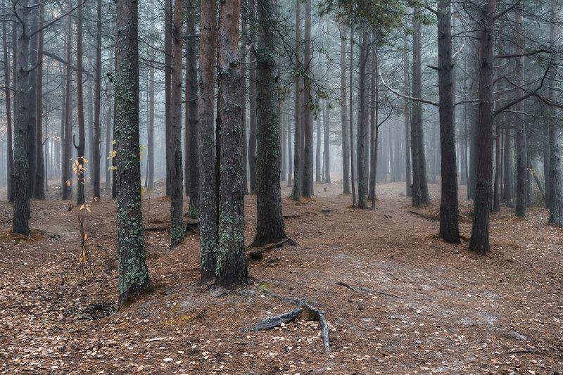 осень сентябрь лес утро туман тишина сосны деревья Замер лес в туманеphoto preview