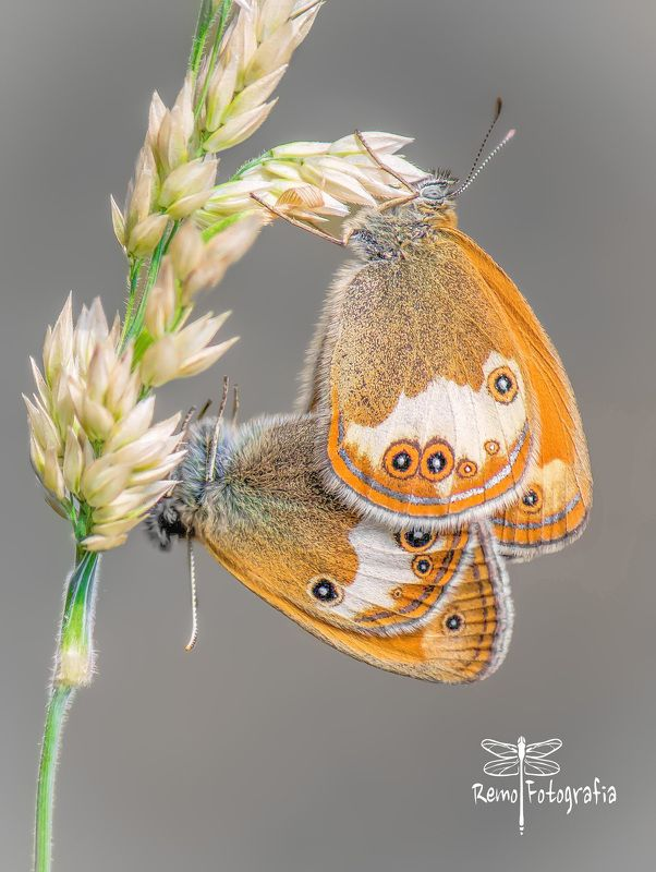 Coenonympha arcania.photo preview