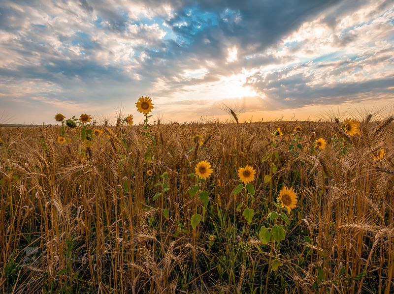 Лебедянский район, Липецкая область, подсолнух, закат, облака, небо, поле, рожь, урожай, сельскохозяйственное поле, оранжевый, жёлтый, тёплый,  Подсолнух в полеphoto preview