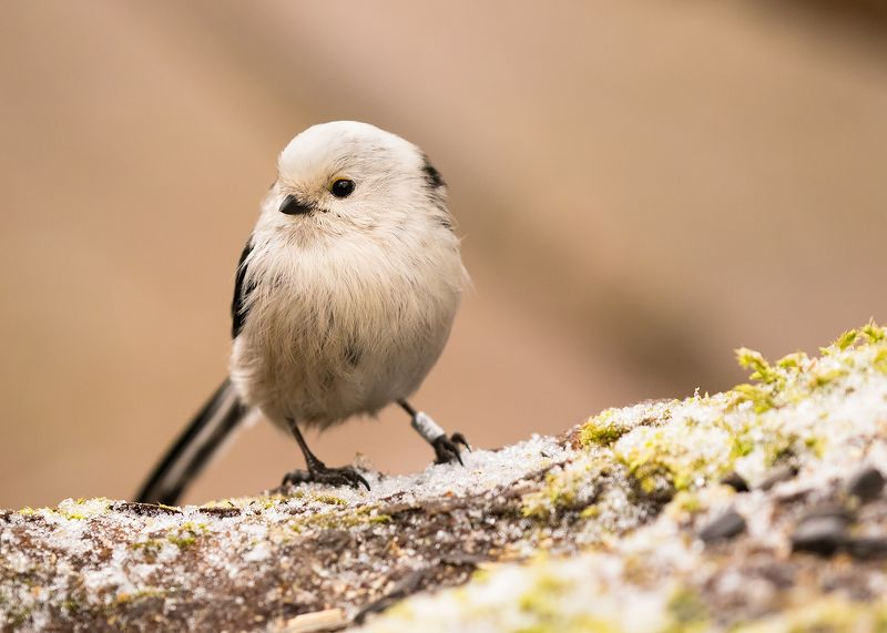 Long-tailed Titphoto preview