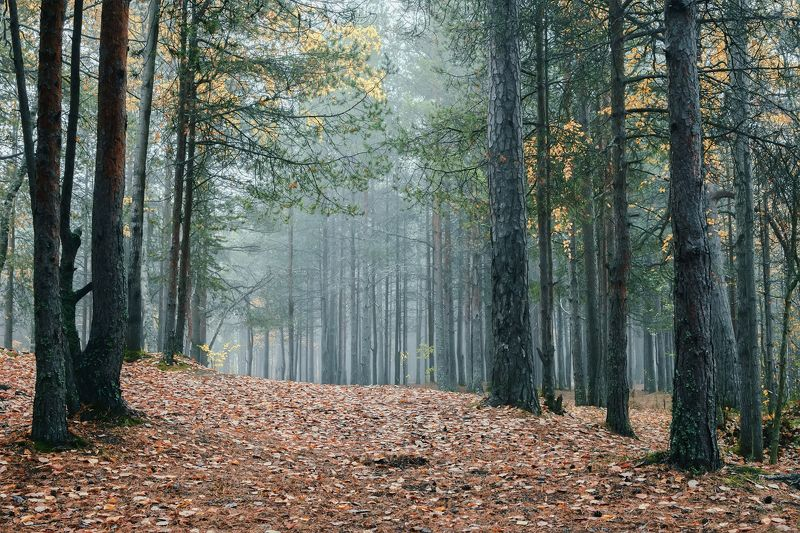 осень, сентябрь, утро, лес, туман, тишина, деревья, сосны, листья Утро в осеннем лесуphoto preview