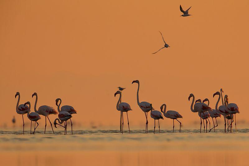 birds,  wild , camargue,canon Обыкновенный фламингоphoto preview