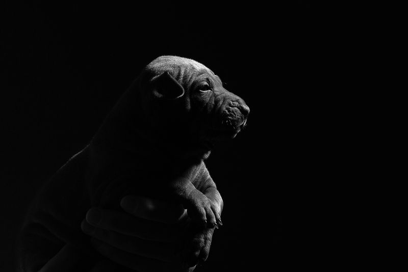 собака, животное, dog, тайский риджбек, щенок Малышкаphoto preview
