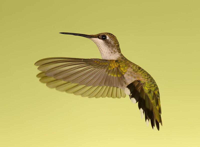 колибри,ruby-throated hummingbird, hummingbird Female Ruby-throated Hummingbird -Самка. Рубиновогорлый колибриphoto preview