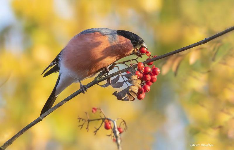 bird of prey, animal, birds, bird,  animal wildlife,  nature,  animals in the wild, bullfinch, птицы, птица Осенняя пораphoto preview