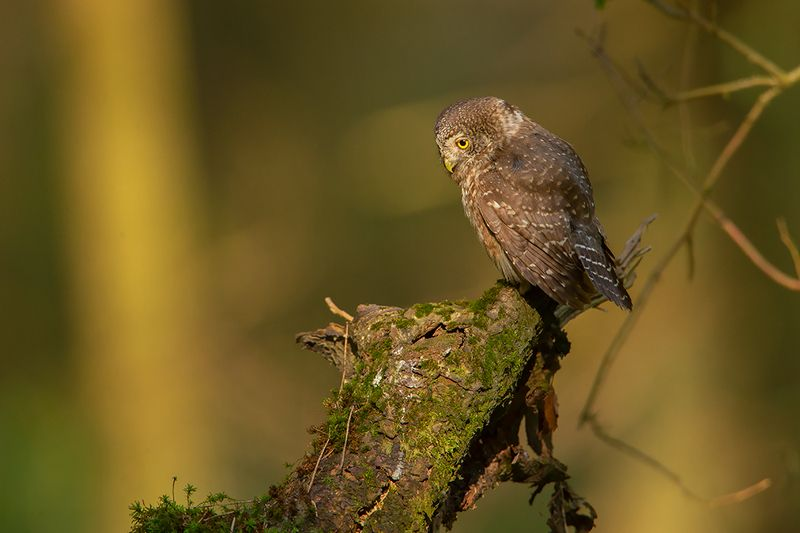 bird, wild,animals ,poland Воробьиный сычphoto preview