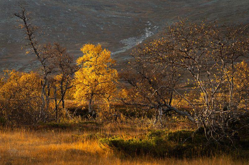 autumn,leaves,golden,yellow,mountains,birch,tree,sylan,norway,norwegian, World in golden фото превью