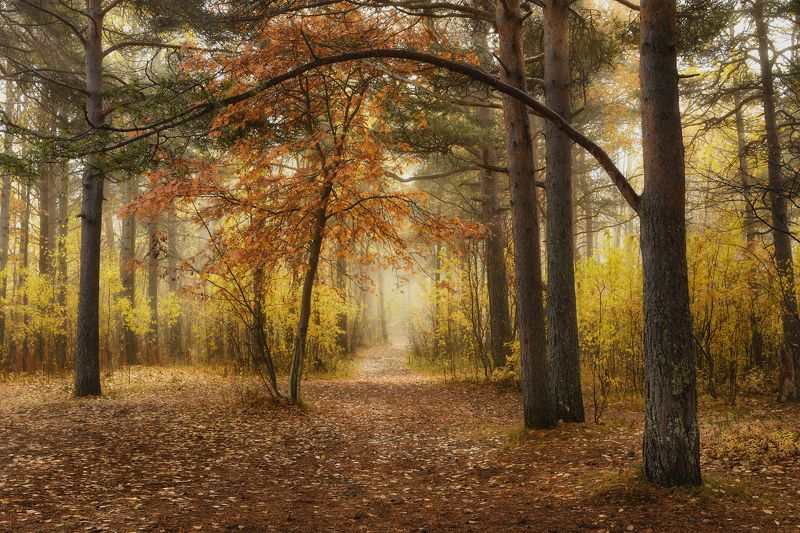 осень сентябрь утро лес туман тишина кусты деревья сосны тропинка Осенний лесphoto preview