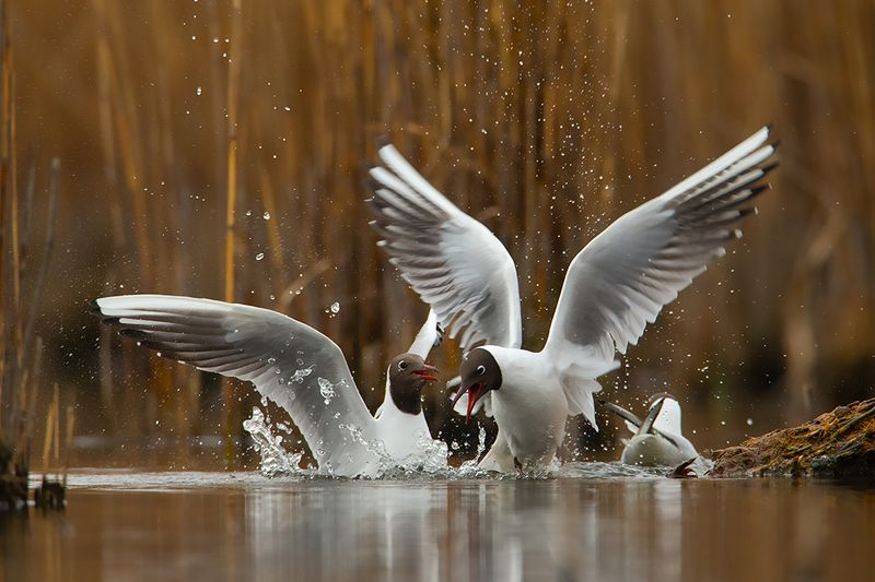 bird, wild,animals ,poland,canon Озёрная чайкаphoto preview