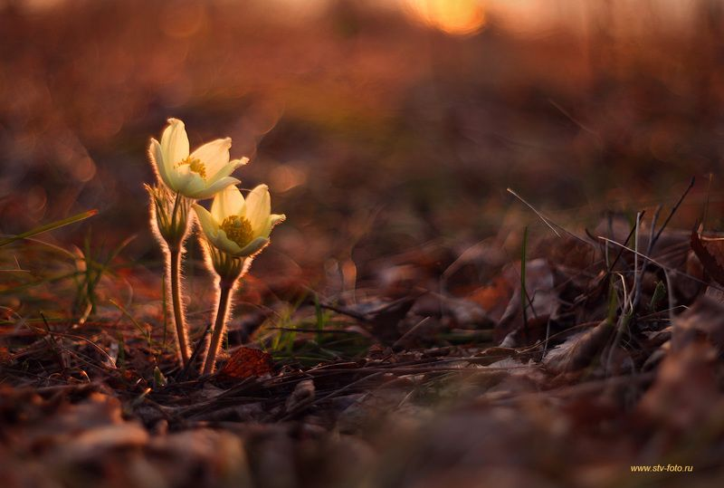 природа, весна, подснежник, прострел, вечер, закат, сон-трава, цветы Мелодия весныphoto preview