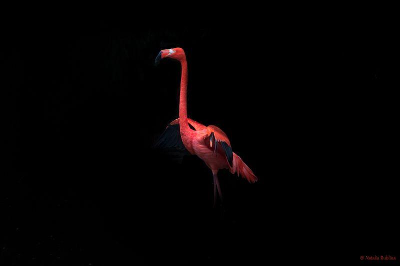 flamenco style,flamingo,flamenco,bird,animal,birds,animals,mood,flamingo,flamingos,caribbean flamingo,птицы,животные,птица,фламинго,фламенко Flamenco style...photo preview