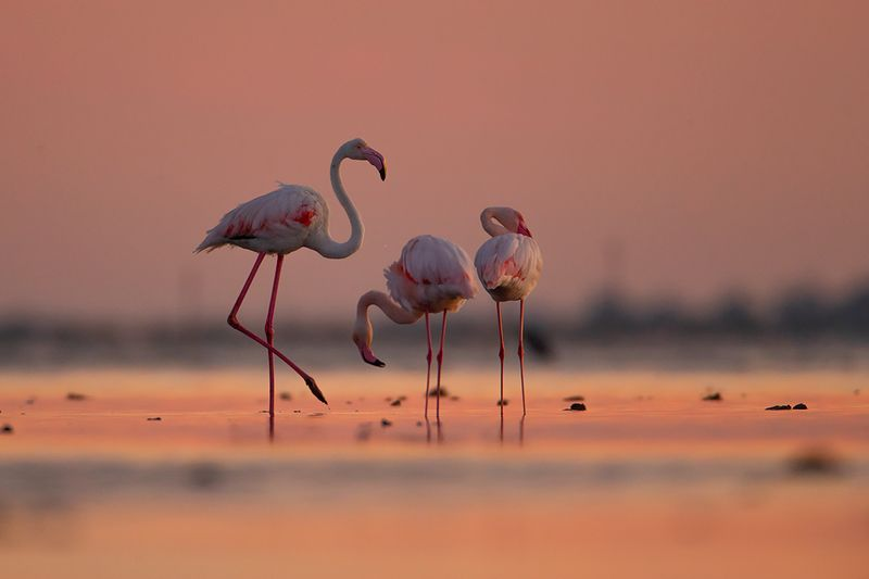 birds , wild , camargue, canon Обыкновенный фламингоphoto preview