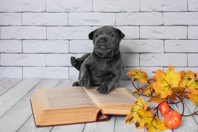 собака, животное, dog, тайский риджбек, щенок Не упалphoto preview