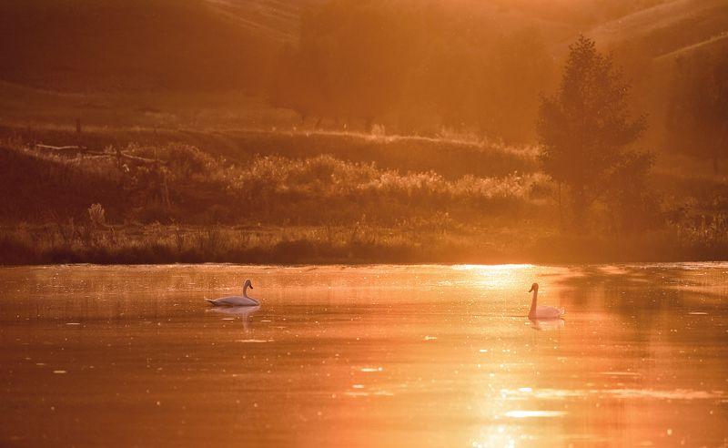 башкирия, пруд, с.юмашево, лебеди, закат. Лебеди на пруду.photo preview