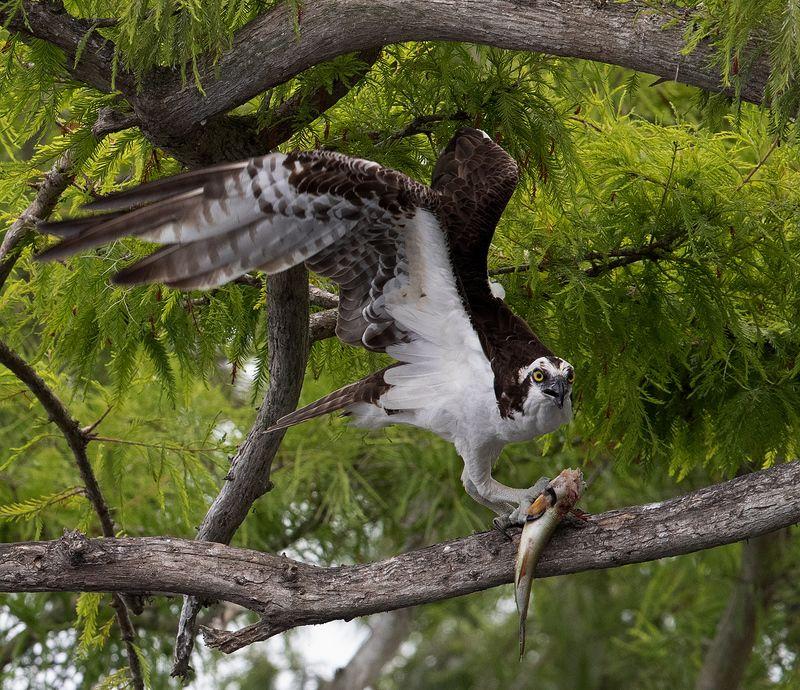 скопа, osprey, florida, флорида, хищные птицы Osprey with Prey -Скопа с добычейphoto preview