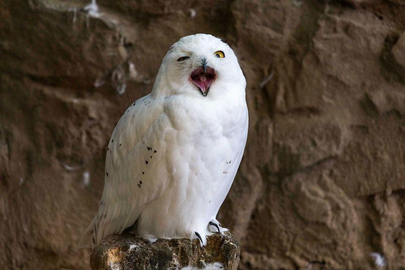 сова, полярная, смешная, зевает Угу )photo preview