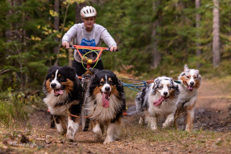 упряжка, собаки, спорт, скутеринг, ездовойспорт, гонкинасобачьихупряжках, гонки, собаки, Гонки на собачьих упряжках. Драйлендphoto preview