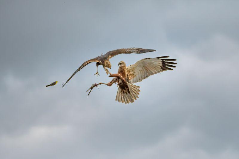 болотный лунь,битва,бой,хищник,circus aeruginosus,в воздухе Разборка самцовphoto preview