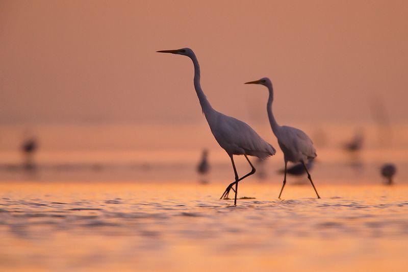 birds,  wild , camargue,canon Большая белая цапляphoto preview