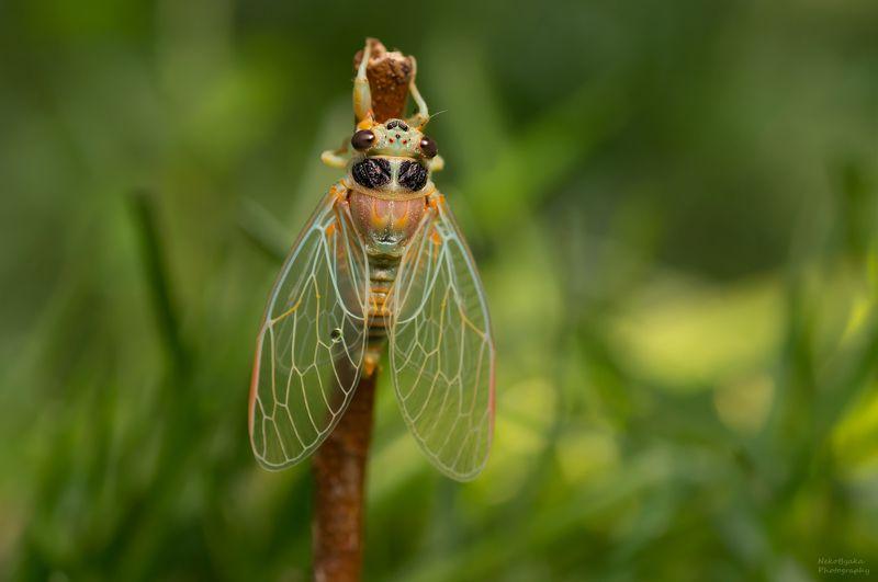 макро, природа, насекомые, лето, цикада, macro, nature, insects, summer, cicada, Цикады горныеphoto preview