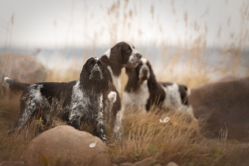 Осенняя охота со Спрингерами..photo preview