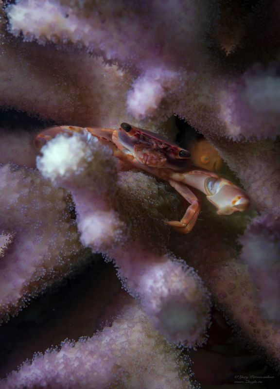 подводное фото подводный мир хургада египет жогло zhoglo красное море Крабикphoto preview