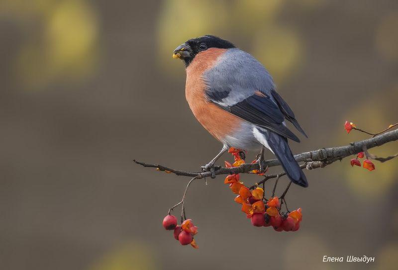 bird of prey, animal, birds, bird,  animal wildlife,  nature,  animals in the wild, снегирь, bullfinch, птицы, птица Важная птицаphoto preview