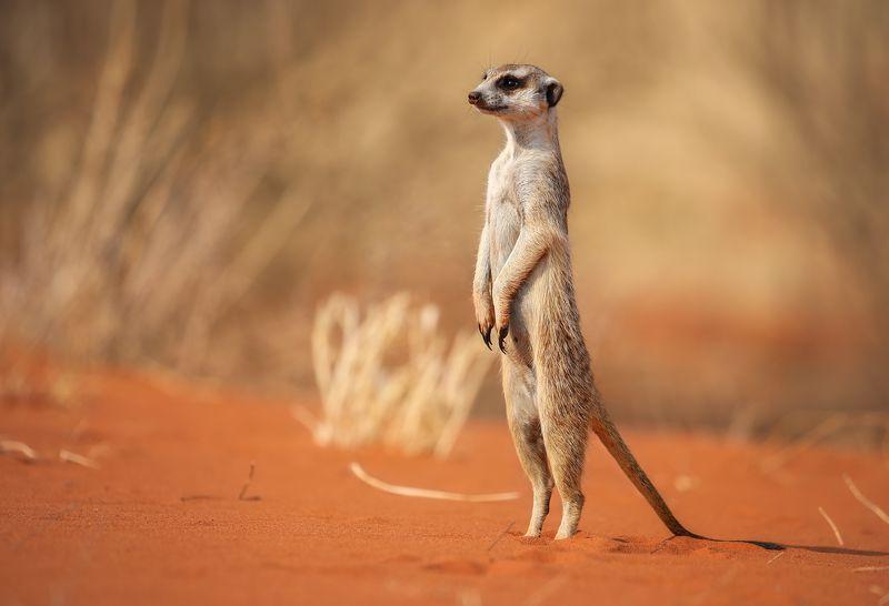 #Намибия #сурикат #путешествие  #Калахари #пустыня #национальный парк #Африка #afryca #travel #namibia #desert #meerkat #kalahari #national park Сурикатphoto preview