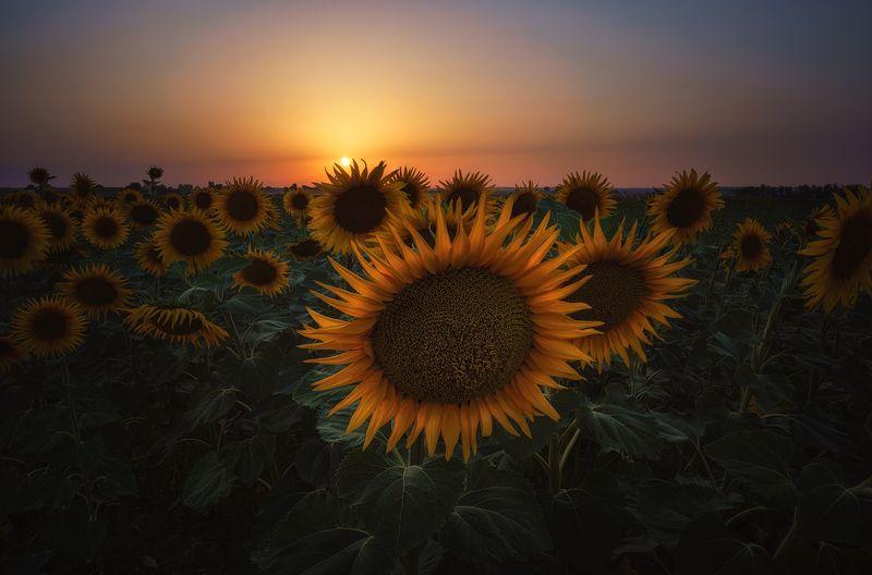 #sunflower #sunset #spain #sunstar #summer SUNFLOWERSphoto preview