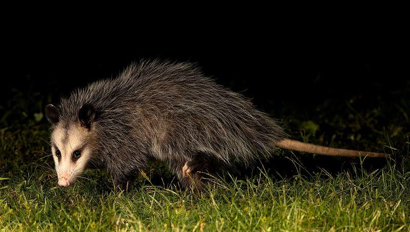 опосcум, opossum, дикие животные Опосcум - Opossum.photo preview