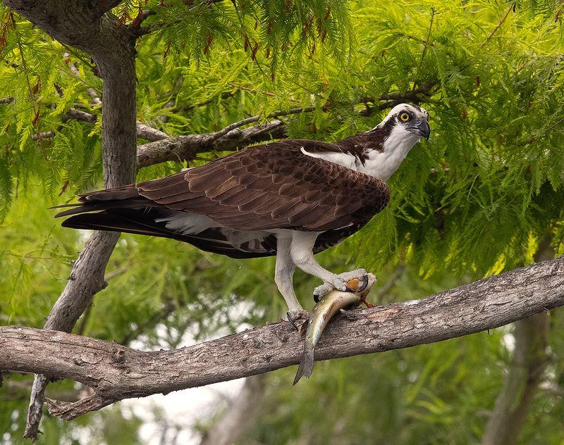 cкопа, osprey, florida, хищные птицы Osprey - Скопаphoto preview