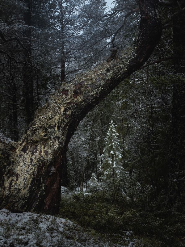 winter,forest,woods,woodland,snow,tree,trees,norway,boreal,cold,frost, Evening in the forest фото превью
