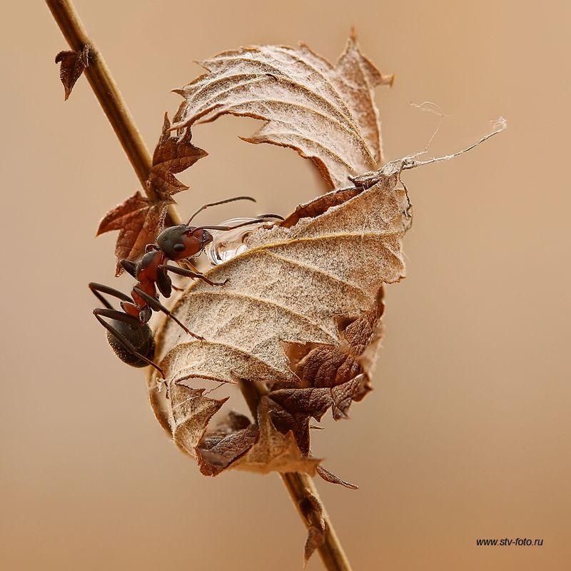 макро, макросъемка, насекомые, муравей, ant, осень, листья ...пышное природы увяданьеphoto preview