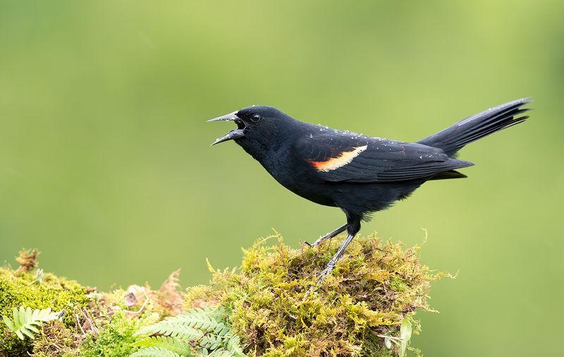 красноплечий чёрный трупиал, red-winged blackbird, трупиал, blackbird Красноплечий чёрный трупиал - Red-winged Blackbird фото превью