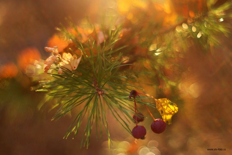 природа, лес, макро, сосна, боке, свет Осенняя мелодияphoto preview