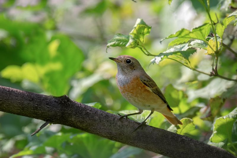 птица, горихвостка, слёток, горихвостка (слёток)photo preview