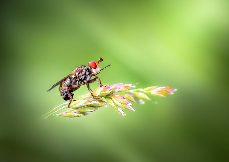 insect, bug, fly, tiger fly, grass, macro, Fly highphoto preview