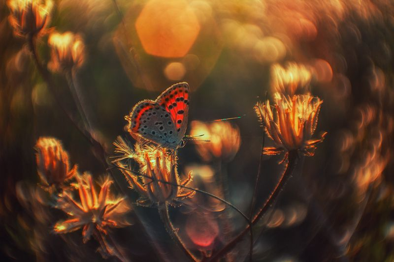 макро, бабочка, червонец ***photo preview