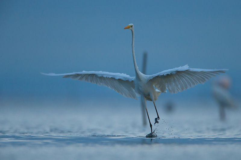 bird, wild,animals ,poland,katowice Большая белая цапляphoto preview