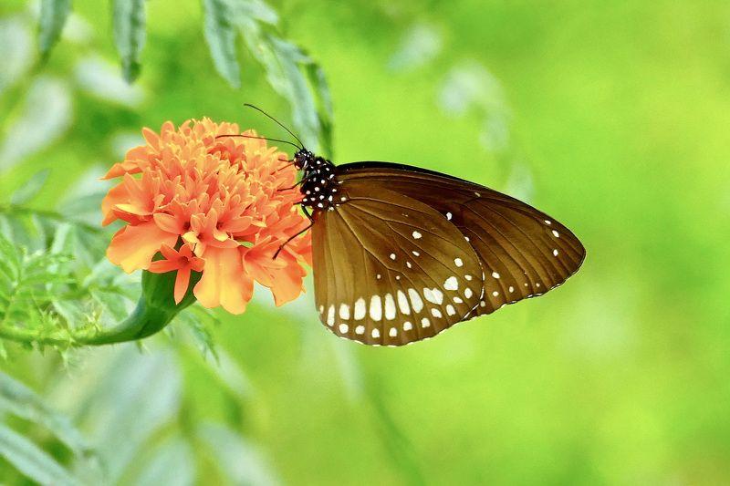 Macro, butterfly, common crow, colors, Sri Lanka, orange, green, insekt, flora, flowers,  Прощание с летомphoto preview